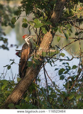 Pileatus Woodpecker On Cedar Tree
