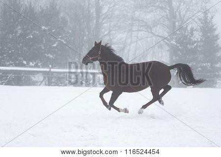Horse Running In Winter