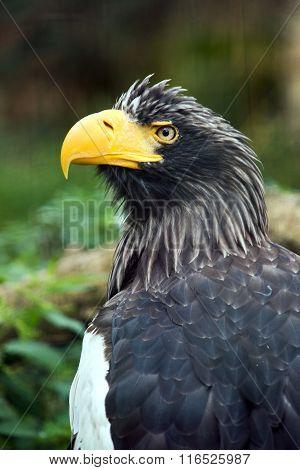 Steller's Sea Eagle