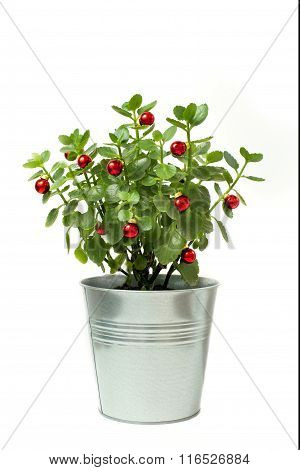 bush stainless flowerpot. Isolated with red ball