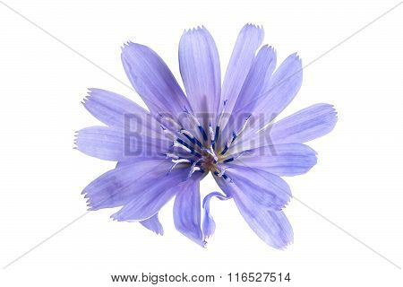 Chicory Flower On White Background