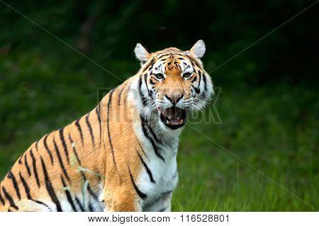 Amur Tigers On A Geass