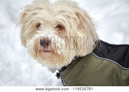 White Havanese Dog In Snow With Snow Jacket