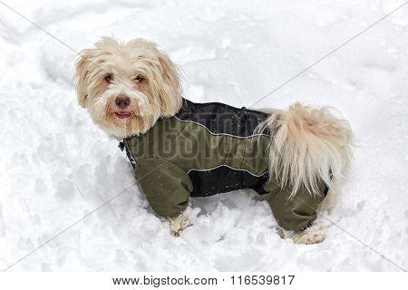 White Havanese Dog In Snow Jacket