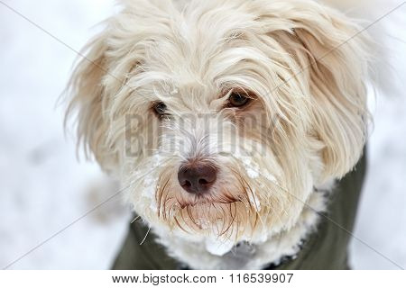 Portrait Of Snowy Face Of White Havanese Dog