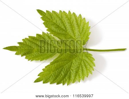 Young hop leaf