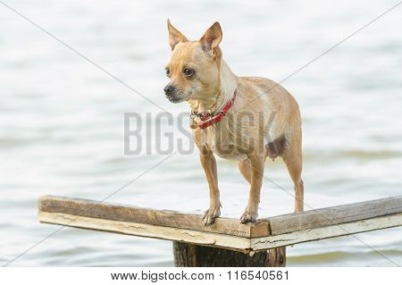 Take A Dip In The River Chihuahua Dog Standing On A Wooden Table