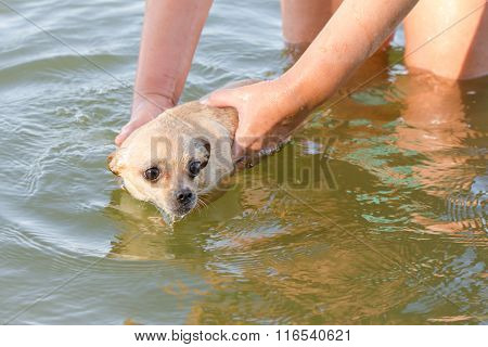 The River To Swim Frightened Dog Chihuahua