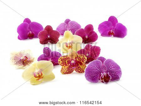 Set of fresh orchids isolated