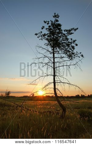 A Lonely Pine In A Field Against The Setting Sun. Crooked Tree Is Not An Ax Chopping. Unauthorized L