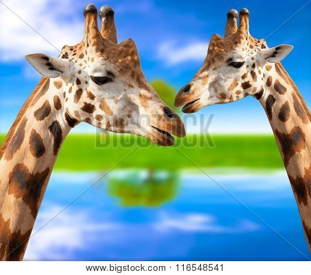 Portrait of a giraffes on the background of nature