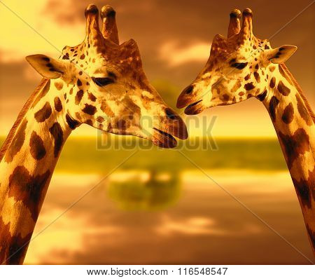 Portrait of a giraffes on the background of nature at sunset