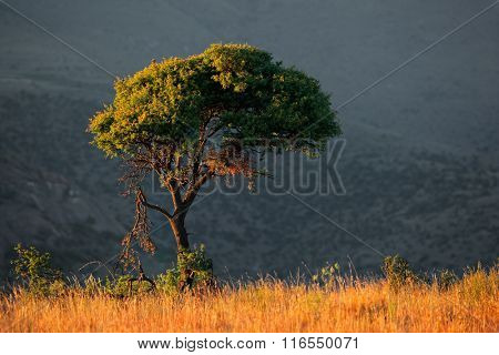 African landscape with a tree on a grassy ridge in early morning light