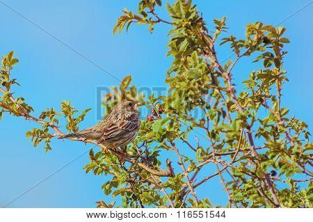 Bird Corn Bunting