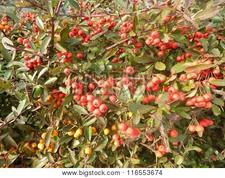 Dense wall of scarlet firethorn