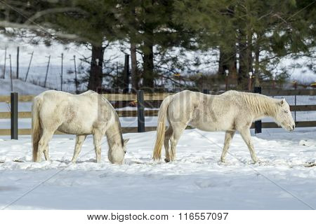 Two White Horses Grazing.