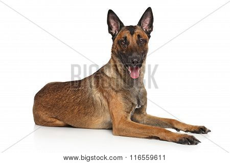 Belgian Shepherd Dog Malinois