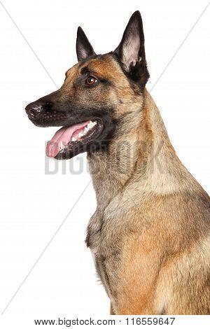 Belgian Shepherd Dog Malinois
