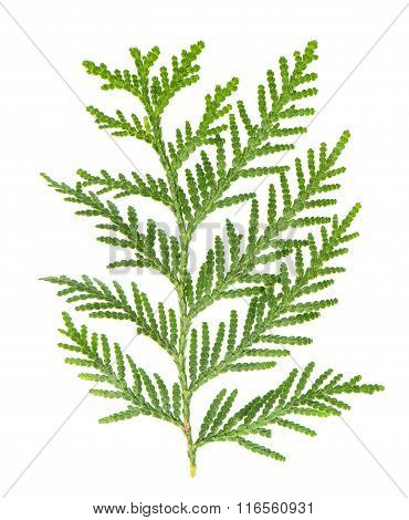 Thuja Sprig Isolated On White Background. Evergreen