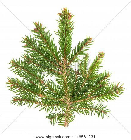Spruce Sprig Isolated On White Background