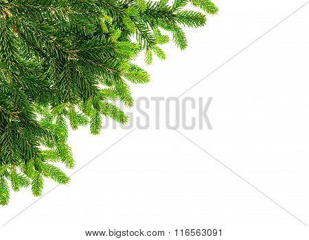 Fresh Spruce Sprig Isolated On White Background