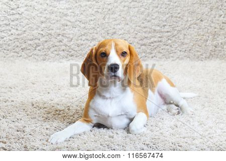 Beagle Dog Relaxing At Home