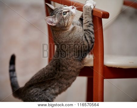 Playful Striped Cat And Chair.