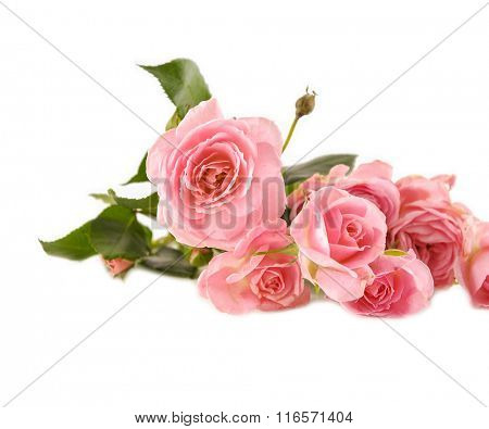 beautiful single rose isolated