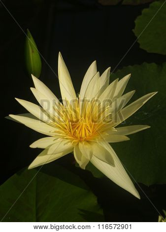A Beautiful Yellow Waterlily Or Lotus Flower