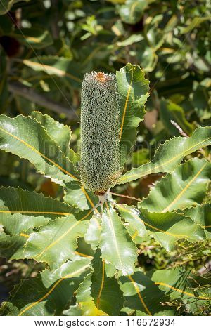 Banksia Robur Flower