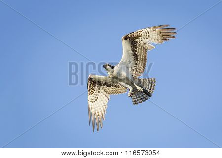 Osprey In Flight - Florida