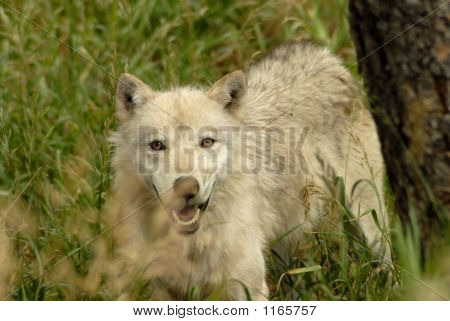 close up shot of a wolf