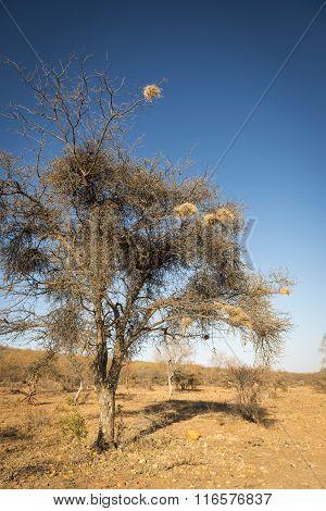 Weaver Birds Nests Africa