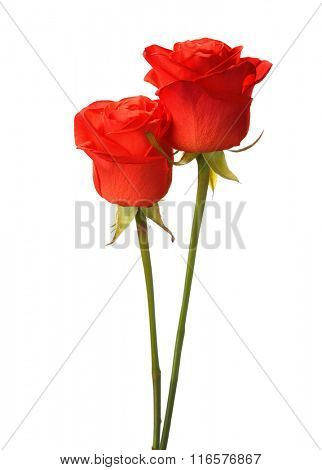 Two bright red roses  isolated on white.