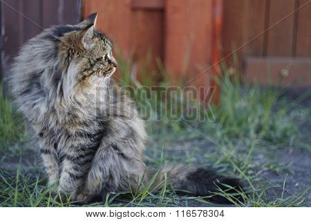 Siberian cat close up. Cat is sitting on green grass.
