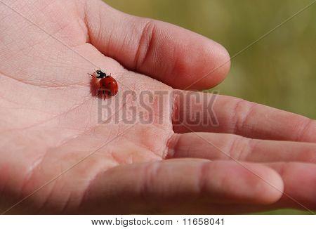 Ladybug On A Hand