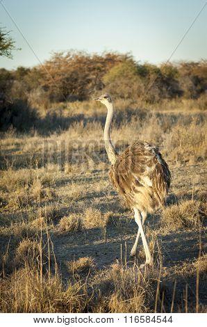 Ostrich In Botswana Africa