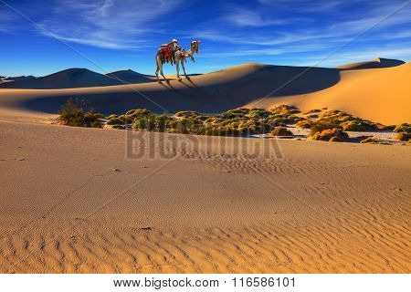 Camel with harness and blanket for walking tourists. Sandy desert covered with waves of sand