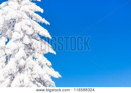 Vibrant winter vacation background with pine tree covered by heavy snow and blue sky