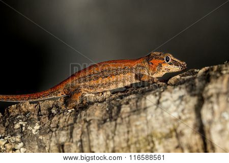 Red Striped Gargoyle Gecko On A Branch