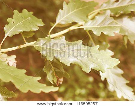 Retro Looking Oak Tree Leaf