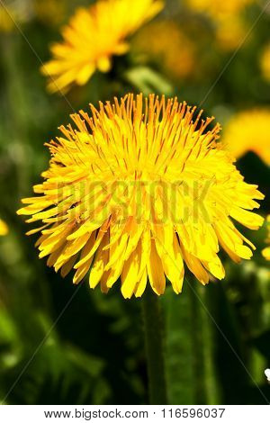 Blossoming Dandelion On A Meadow.