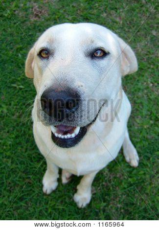 Izzy The Labrador