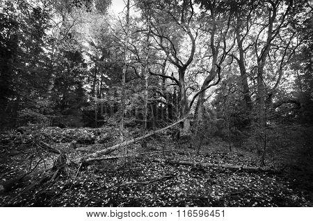 Old linden forest