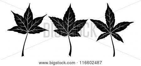 Liquidambar Styraciflua Leaves