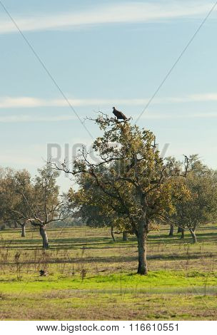 Vulture perched in a tree in Extremadura in Spain