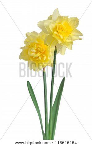Beautiful Daffodils Isolated On White Background