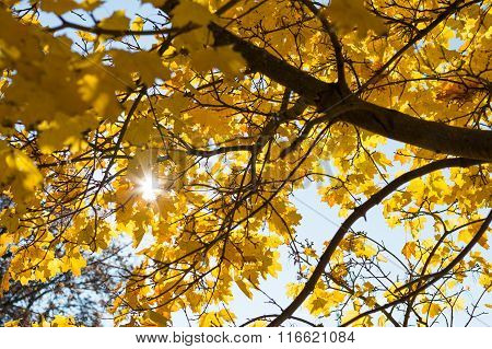 Sun Shines Through Autumn Deciduous