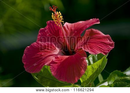 Close up of Indian hibiscus flower on the tree.