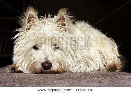 Doleful Terrier